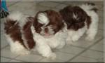 Прелестные китайские императорские собаки