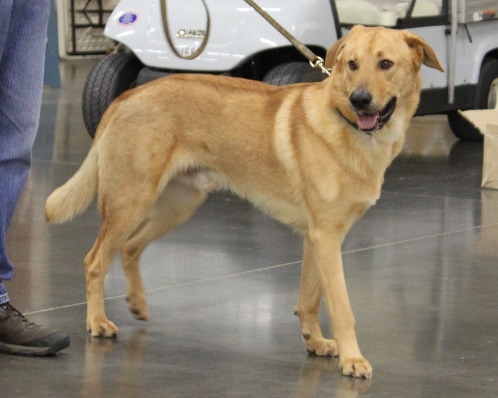 Прелестная собака чинук фото