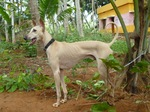 Cute Chippiparai Dog