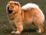Cute Chow chow dog