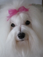 Cute Coton de Tulear dog girl