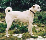Cute Cretan Hound dog