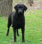 Cute Curly Coated Retriever dog