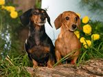 Cute Dachshund dogs in flowers