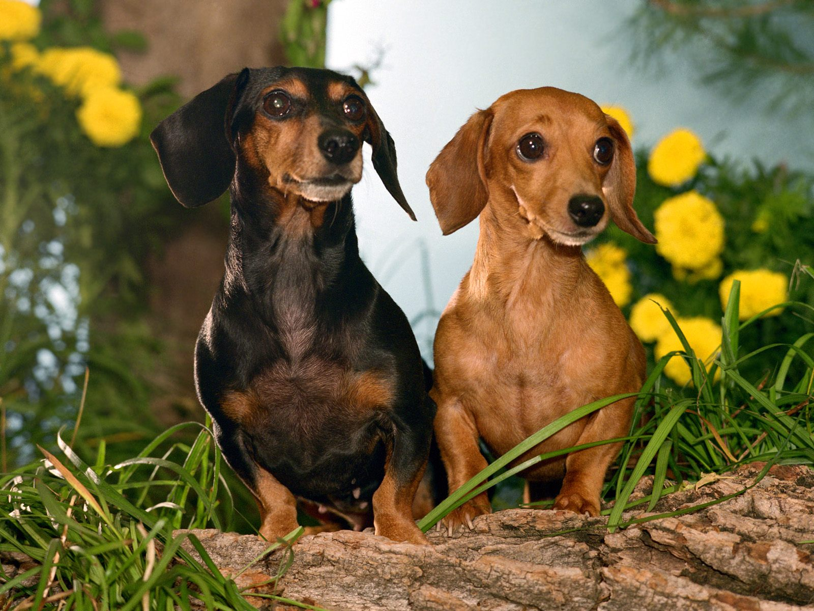 Cute Dachshund dogs in flowers wallpaper