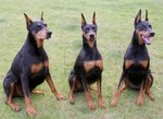 Cute Doberman Pinscher dogs