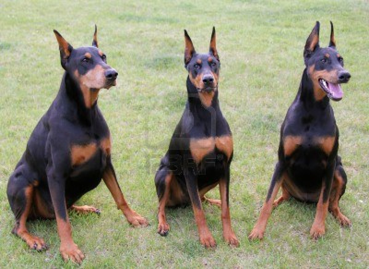 Cute Doberman Pinscher dogs wallpaper