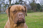 Cute Dogue de Bordeaux dog