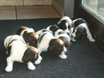 Cute Drentse Patrijshond puppies
