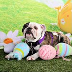 Cute Easter Bulldog