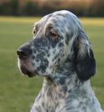 Cute English Setter dog