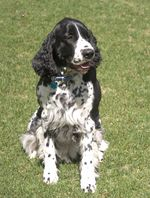 Cute English Springer Spaniel dog