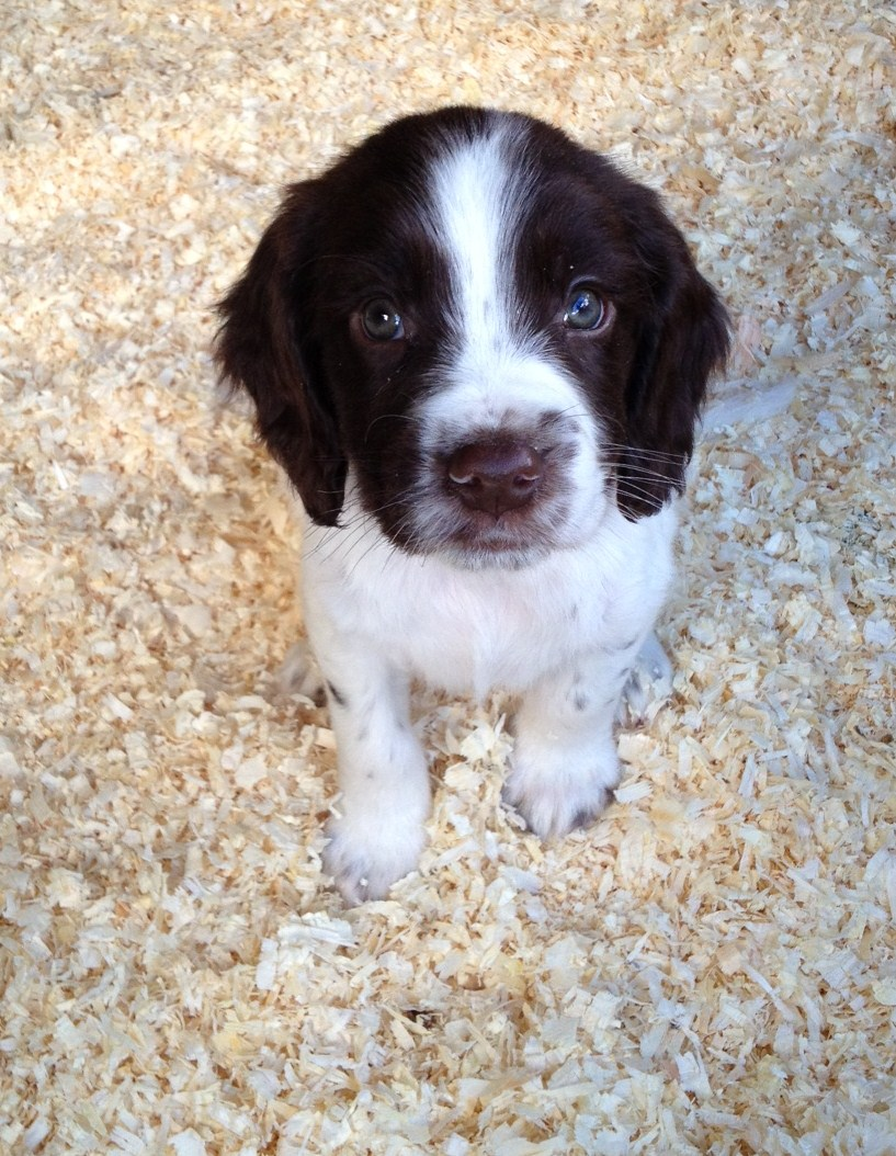 Cute English Springer Spaniel Puppy Photo And Wallpaper Beautiful Cute English Springer Spaniel Puppy Pictures