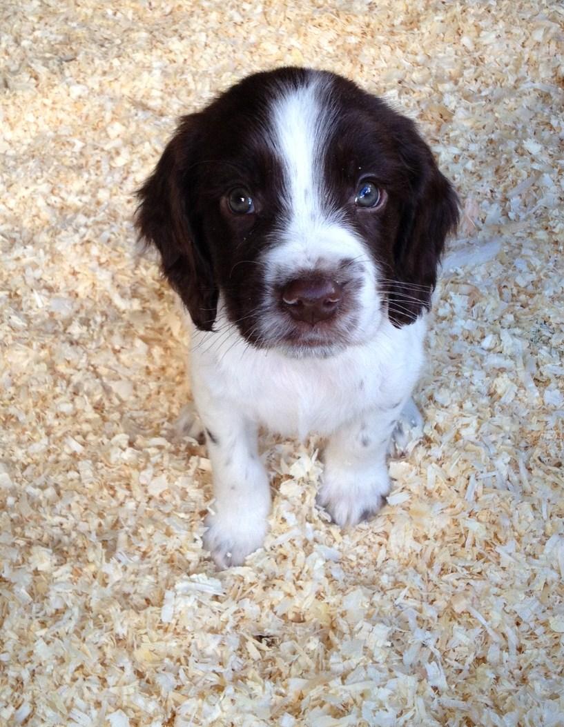Симпатичный щенок английского спрингер-спаниеля фото