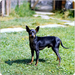 Cute English Toy Terrier(Black Tan) dog