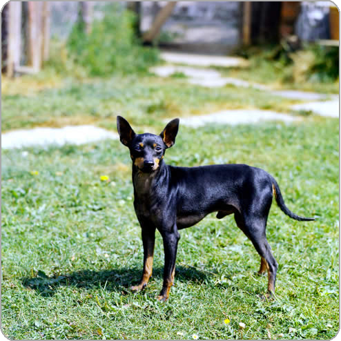 Cute English Toy Terrier(Black Tan) dog wallpaper