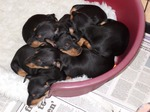 Cute English Toy Terrier(Black Tan) puppies
