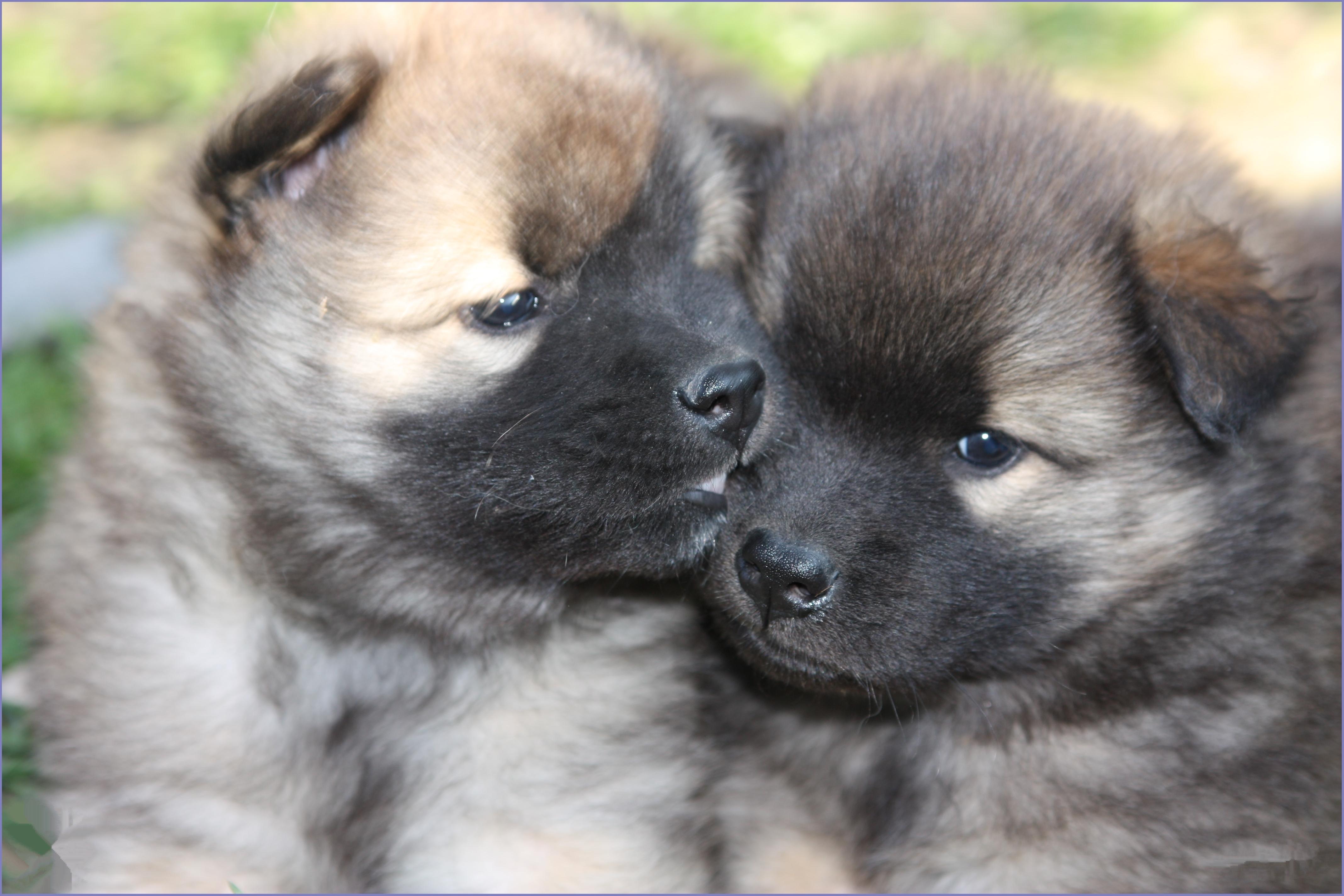 Симпатичные щенки собаки евразиер фото