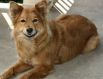 Cute Finnish Spitz dog