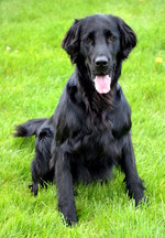 Cute Flat-Coated Retriever dog
