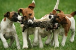 Cute Fox Terrier (Smooth) puppies