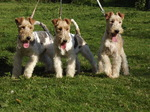 Cute Fox Terrier,Wire dogs