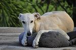 Cute Galgo Español dog