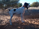 Cute Gascon Saintongeois dog