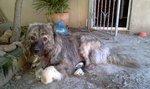 Симпатичная грузинская горная собака