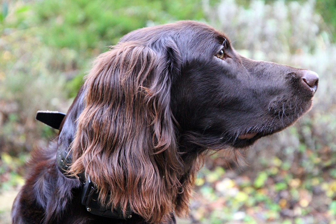 Cute German Longhaired Pointer dog wallpaper