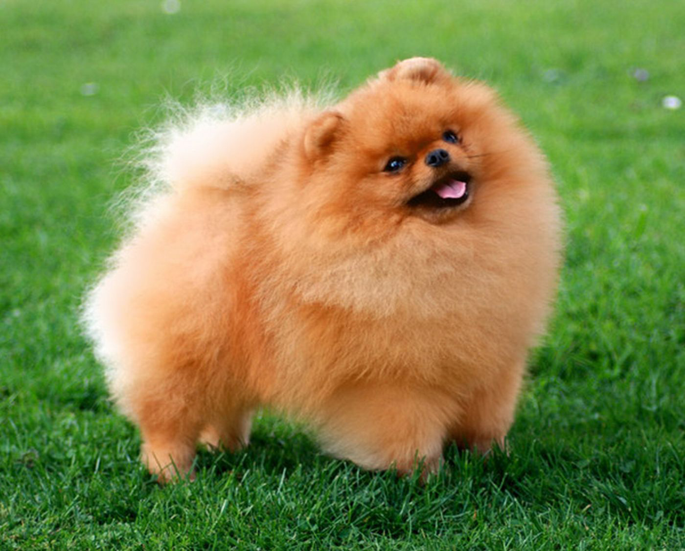 Cute German Spitz dog wallpaper