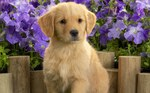 Cute Golden Retriever puppy and flowers