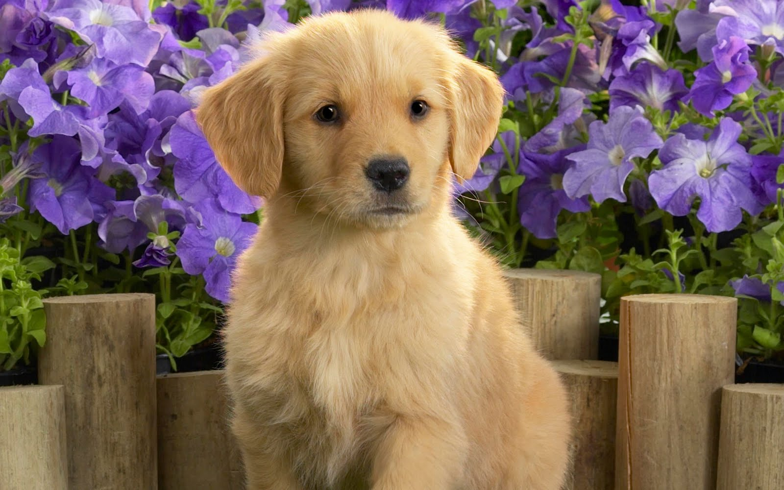 Cute Golden Retriever puppy and flowers photo and wallpaper