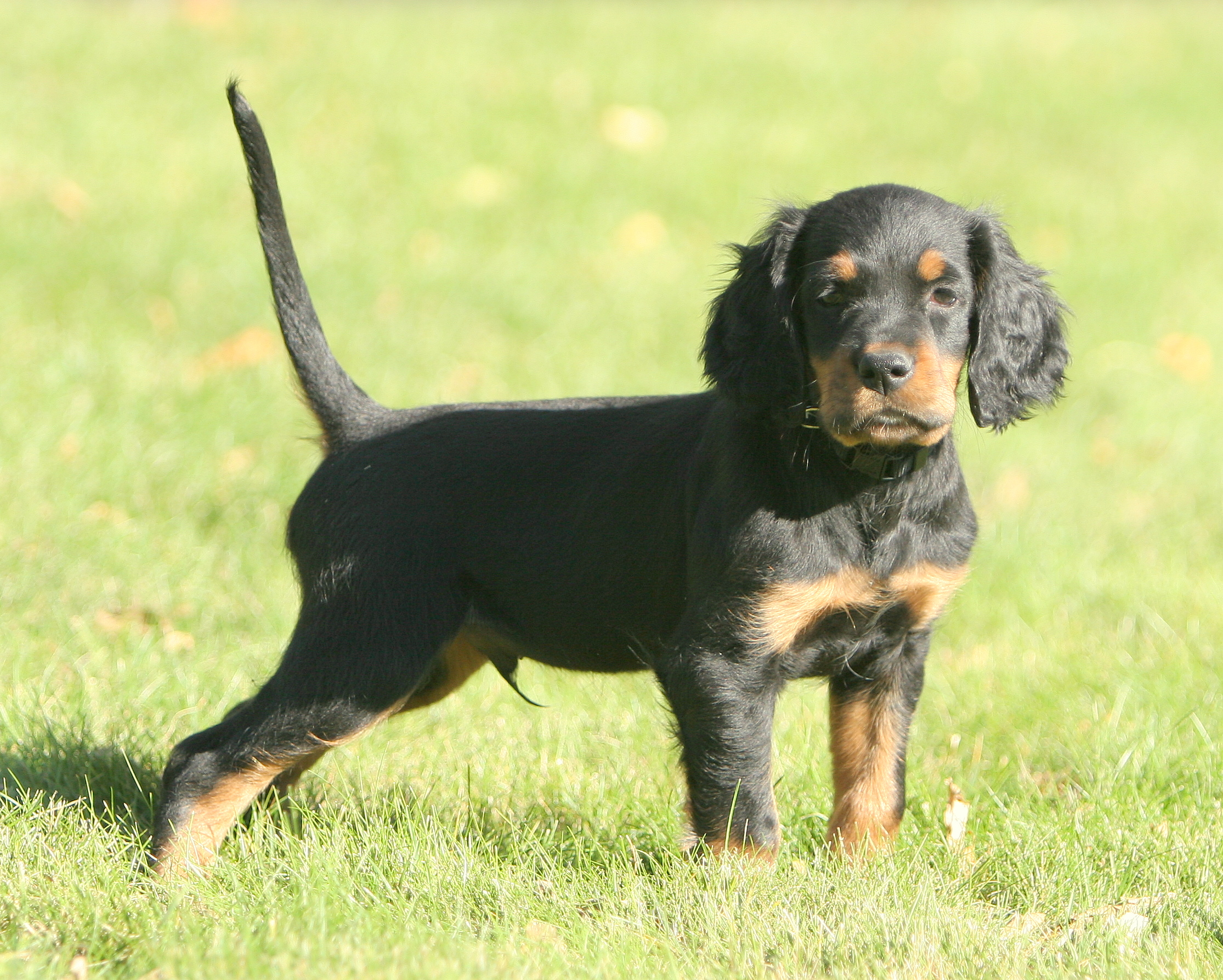 Cute Gordon Setter Puppy Photo And Wallpaper Beautiful