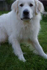 Cute Great Pyrenees dog