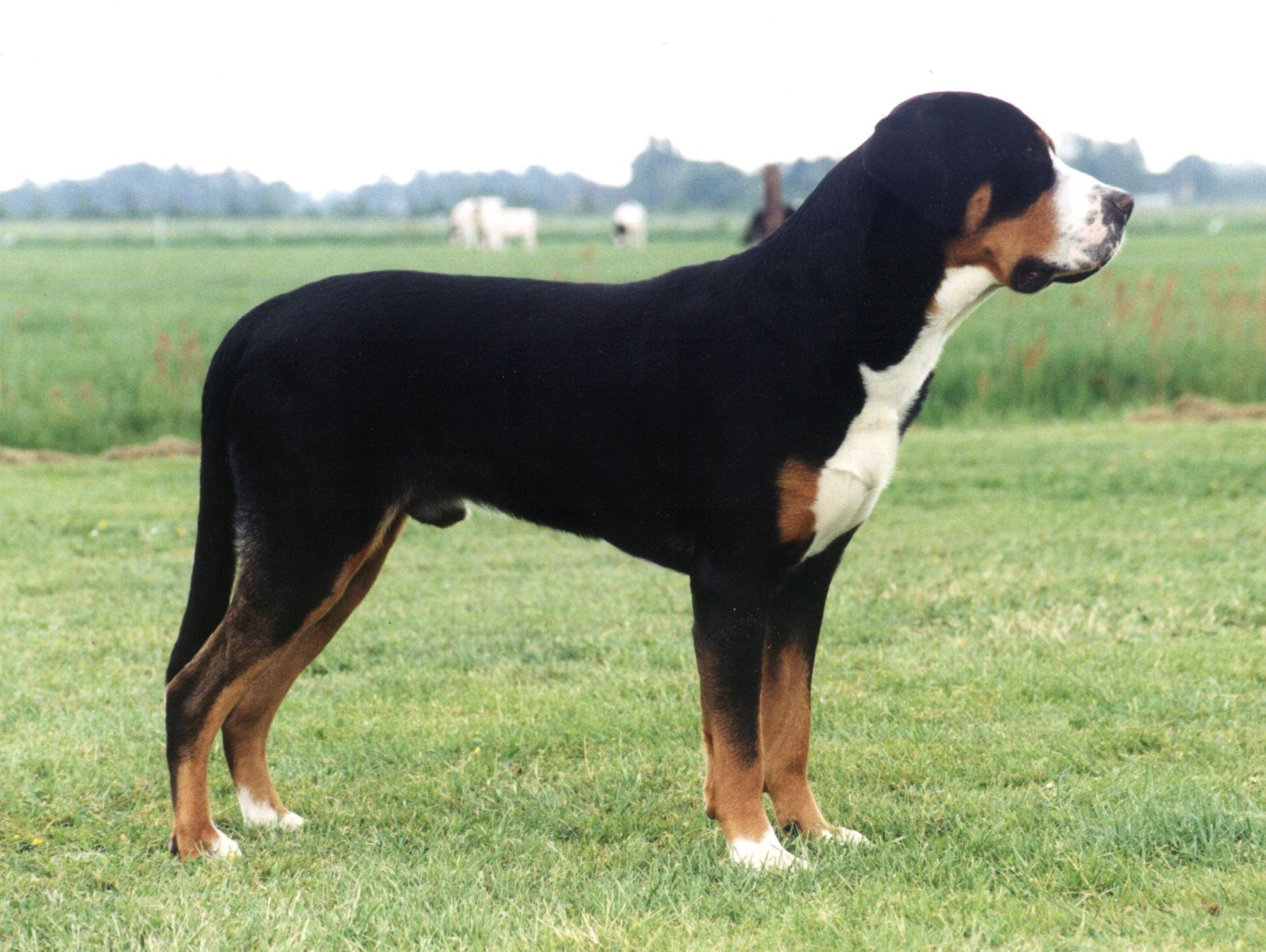 Add photos Cute Greater Swiss Mountain Dog in your blog: