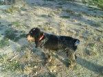 Cute Griffon Bleu de Gascogne dog