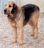 Cute Griffon Fauve de Bretagne dog