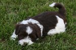 Cute Havanese dog
