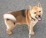 Cute Hokkaido dog