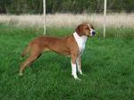 Cute Hygenhund dog
