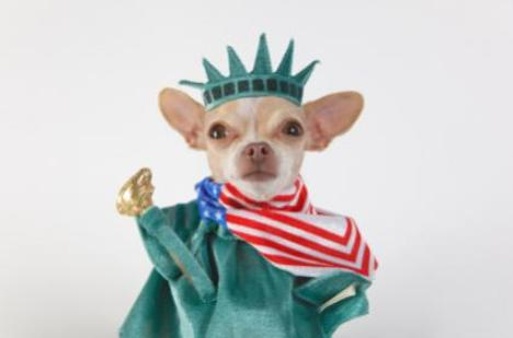 Cute Independence Day Chihuahua wallpaper
