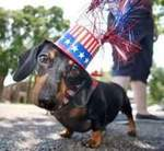 Cute Independence Day Dachshund