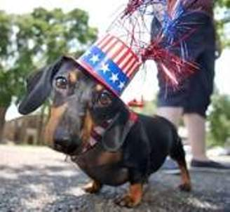 Cute Independence Day Dachshund фото