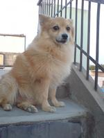 Cute Indian Spitz dog