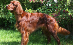 Cute Irish Setter dog