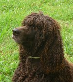 Cute Irish Water Spaniel dog