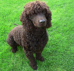 Cute Irish Water Spaniel