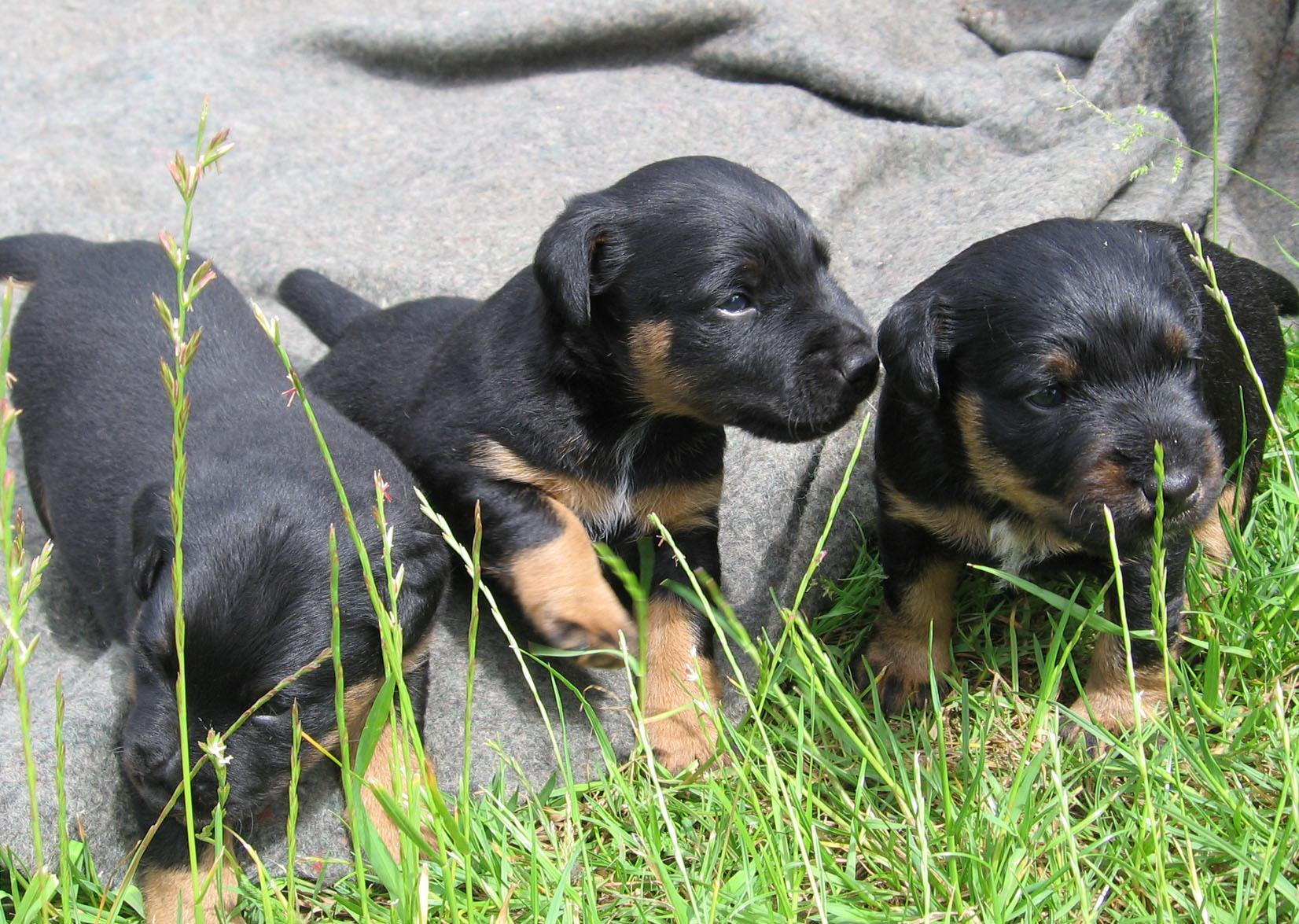 Cute Jagdterrier puppies wallpaper