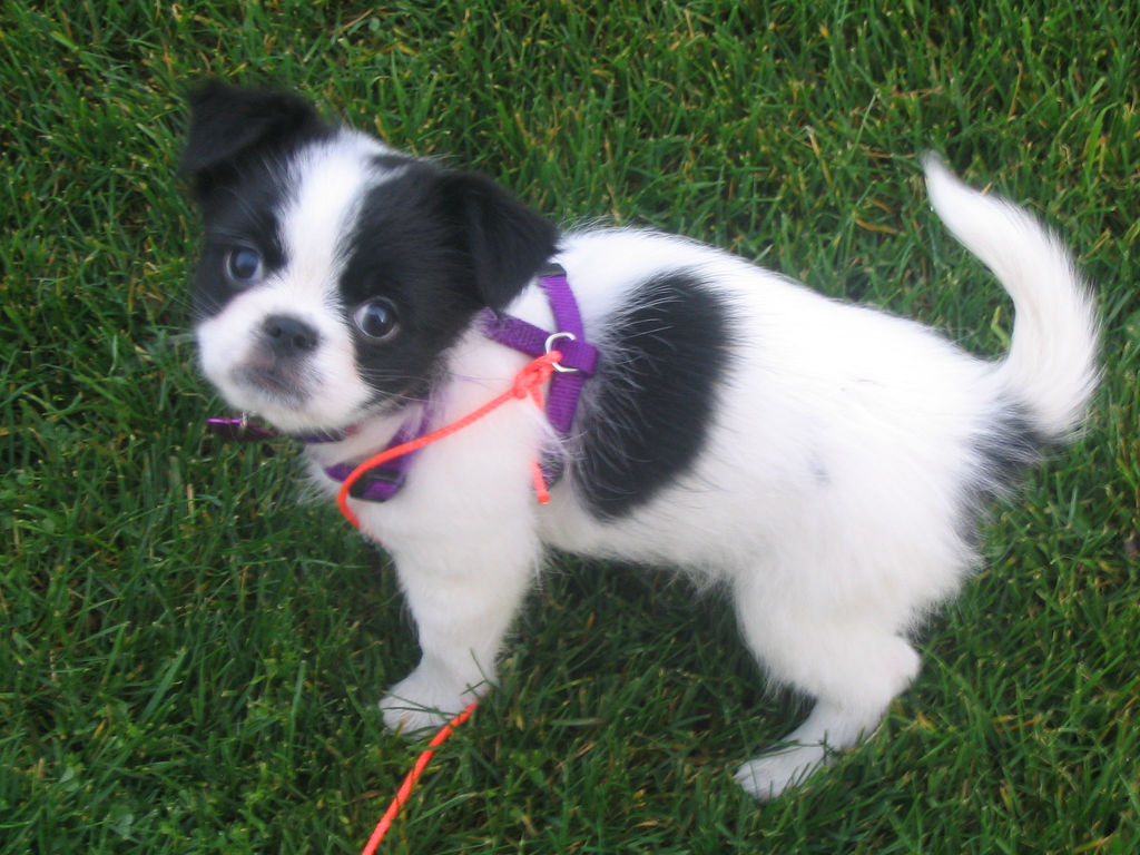 Cute Japanese Chin dog  wallpaper